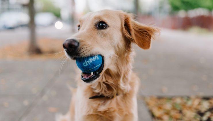 dog-cute-smile-ball-playful.jpg